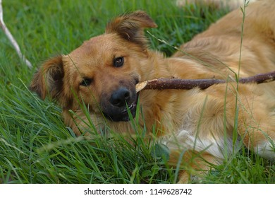 Cute dog on a green meadow with a branch in the summer sunlight