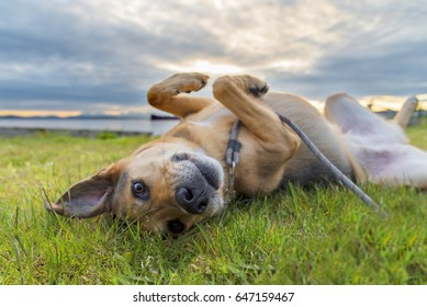 Cute dog on leash rolling in green grass neat sunset making eye contact expressing emotion.
