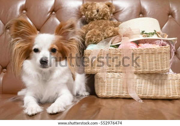 Amazing Cute Dog On Vintage Leather Sofa Stock Photo Edit Now Ibusinesslaw Wood Chair Design Ideas Ibusinesslaworg