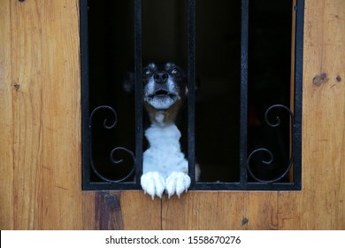 A cute dog peeps out from the fence. Dog looks through the fence. Thoroughbred small dog peeps from the wooden door with steel inserts. The muzzle of dog is stuck out of the fence.
