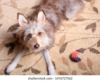 Cute dog playing with a ball on the carpet