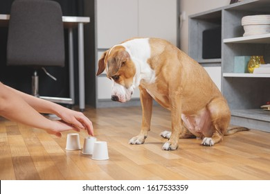 Cute dog playing the shell game with her human. Concept of training pets, domestic dogs being smart and educated