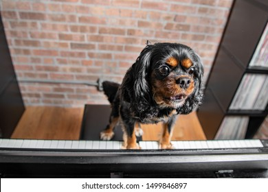 A cute dog plays the piano and sings. Cavalier King Charles Spaniel breed, black and tan.
