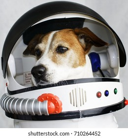 Cute Dog portrait in a Astronaut's Helmet. Jack Russell Terrier.