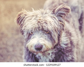 cute dog portrait, he is slightly shaggy and scruffy. He has a face a little bit like a teddy bear. One ear is raised slightly he is grey and white. He has bright golden eyes.