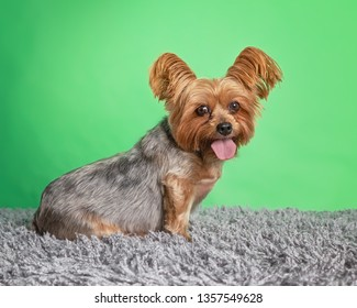 cute dog portrait in a photography studio setting isolated on a colorful background