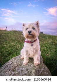 Cute dog portrait of west highland white westie terrier at sunset with pastel colors in sky in New Zealand, NZ