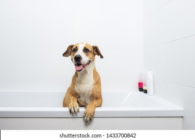 Cute dog posing in a bathtub, waiting to get washed. Bathing home pets concept: loyal staffordshire terrier dog in a minimalistic bathroom