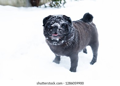 Cute dog pub breed black funny cute winter snow face happy having fun outdoor