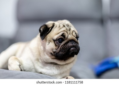 cute dog pug breed have a question and making funny face feeling so happiness and fun,Selective focus,Friendship Concept