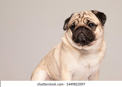 Cute dog Pug breed looking away with funny face feeling so happiness Isolated on grey background,Purebred Dog Pug Concept