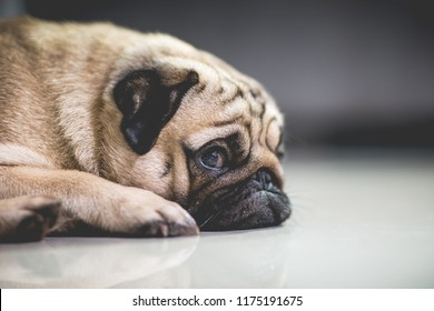 Cute dog pug breed lying and sleep on ground with funny and stressed face feeling so relax and comfortable