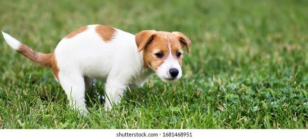 Hundebüt mit der Toilette, entfettet, gekämmt, Ausscheidung von Haustieren, Banner