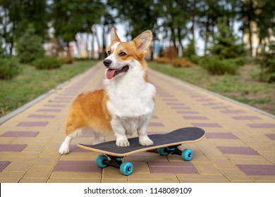 cute dog puppy redhead  pembroke welsh corgi standing  a skateboard on the street for a summer walk in the park, smiling, sticking out his tongue