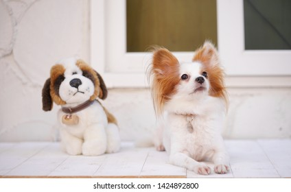 Cute dog. A cute dog pure breed Continental Toy Spaniel Papillon dog is looking up on alert. Background is blur soft plush dog toy.