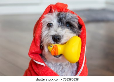 Cute Dog  with Red Towel and Yellow Rubber  Duck ready for Bath