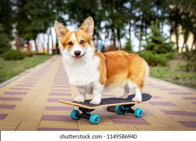 cute dog redhead  pembroke welsh corgi standing  a skateboard on the street for a summer walk in the park
