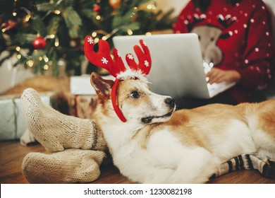 cute dog with reindeer antlers sitting at owners legs at golden beautiful christmas tree with lights in festive room. girl working on laptop with adorable doggy.  winter holidays