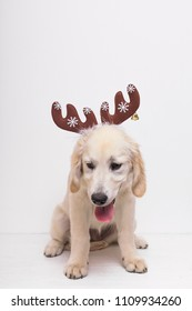 Cute dog with reindeer horns. Christmas time