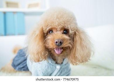 cute dog resting in livingroom
