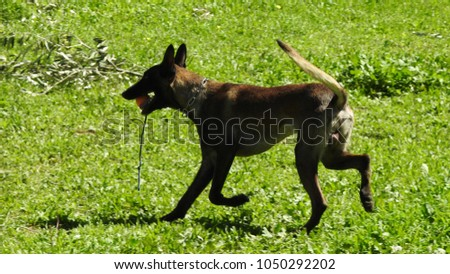 Cute Dog Running Ball His Mouth Stock Photo Edit Now 1050292202