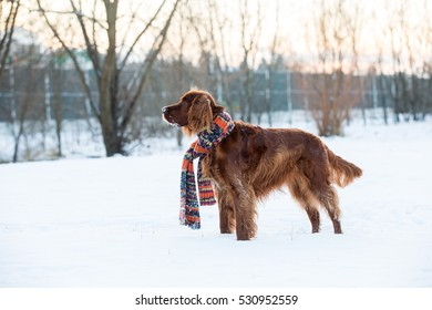 Cute dog setter in the snow