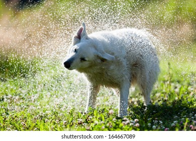 Cute dog shaking itself dry on a green lawn in a spray of water droplets as it dries its coat after swimming or being bathed