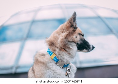 Cute dog from shelter with closed eyes. Husky in blue collar sitting with closed eyes near the glass dome