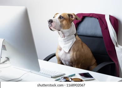 Cute dog sits in office chair at a modern working place. Going to work with pets concept: staffordshire terrier puppy in front of a desktop computer