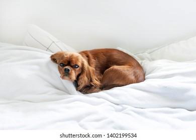 Cute dog sleeping in the bedroom