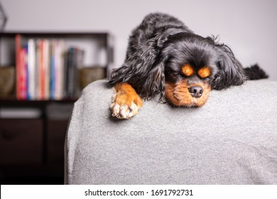 A cute dog sleeps on a bed in a bedroom, with a gray sheet and a book case beyond. Cavalier King Charles Spaniel breed.