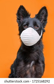 cute dog studio shot on an isolated background with a medical mask on