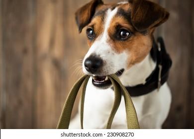 Cute dog waiting for a walk