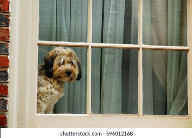 A cute dog waits and waits for his family to come home