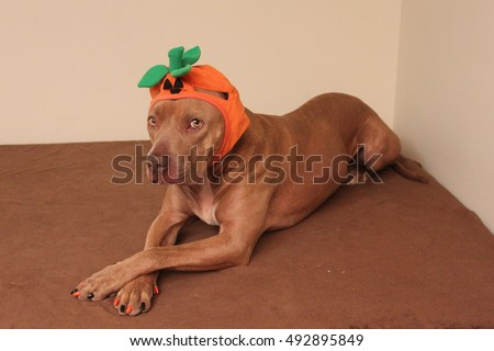 Cute Dog Wearing Halloween Costume Nails Stock Photo Edit Now