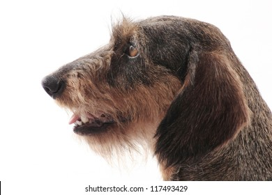 Cute dog with white background. Photos made in studio. Wire-haired Dachshund.