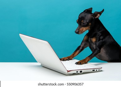 Cute dog who enjoy the laptop computer on blue background