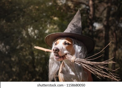 Cute dog in witch hat holding broomstick. Portrait of beautiful staffordshire terrier puppy in halloween costume with witch's broom in autumn forest