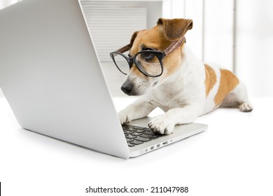 Cute dog works in the office at the computer. Concentration and strictly looking at the screen