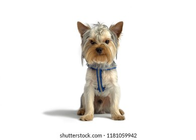 cute dog. Yorkshire Terrier. studio photo on a white background. posing sitting
