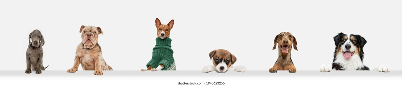 Cute doggies or pets looking happy isolated on white background. Studio photoshots. Creative collage of different breeds of dogs. Flyer for your ad.