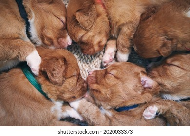 Cute dogs sleeping on blanket at home. Purebred puppy of Nova Scotia Duck Tolling Retriever.