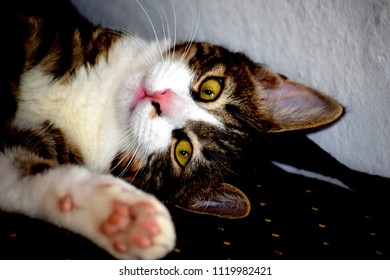 Cute domestic cat laying on a couch saying 'Hello' with its paw raised in front of its face