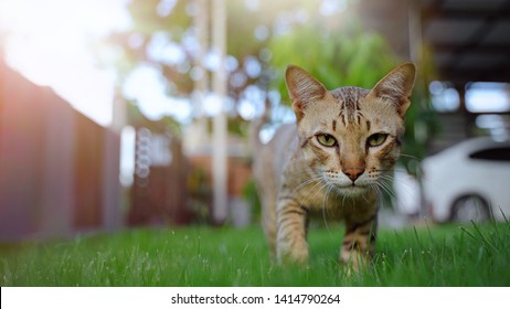 Cute domestic cat walking on green grass garden with summer sunlight