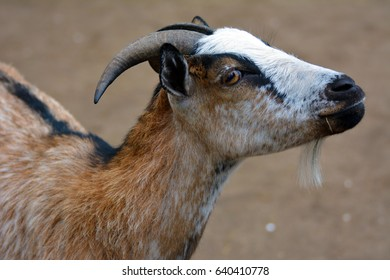 A cute, domestic goat