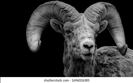 Cute Domestic Goat Face With A Big Horn