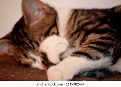 Cute domestic kitten sleeping on a couch, covering its face with its paws