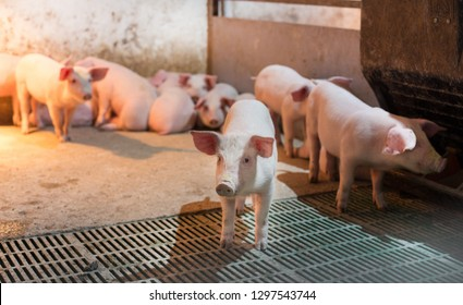 Cute domestic piglets walking in modern stable with extra heating