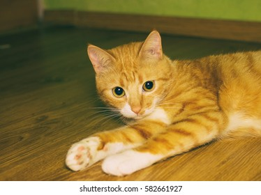 Cute domestic red cat on a floor