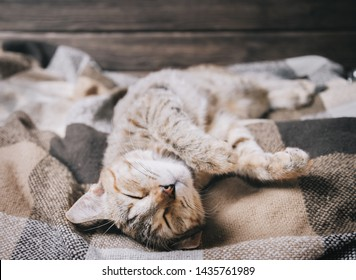 Cute domestic tabby cat of ginger color sleeping on soft plaid on his back with paws up.